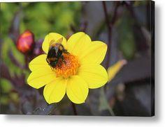 Bumblebee Acrylic Print By Rumyana Whitcher