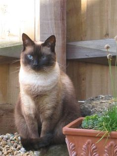 Nkosi, Always Loved..... Siamese cat outside
