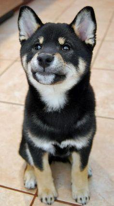 Shiba inu!
