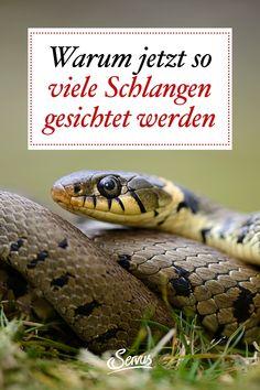 Derzeit werden auch in Großstädten wie Wien öfter Schlangen gesichtet. Ob das ungewöhnlich ist oder ganz normal? Wir haben Reptilien- und Gifttiere-Expertin Helga Happ vom Reptilienzoo Happ in Klagenfurt gefragt. #schlangen #schlangeninoesterreich #tiere #tierwissen #weltdertiere #tierischeswissen #servus #servusmagazin #servusinstadtundland Klagenfurt, Snake, Animals, Animales, Animaux, A Snake, Animal, Animais, Snakes