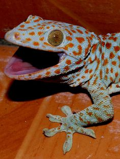 "TIL that when U.S. soldiers encountered the Tokay gecko in the jungles of Vietnam during the Vietnam war they found its mating call sounded similar to the phrase ""fuck you"" - giving it the informal name ""fuck-you lizard""."
