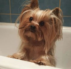 They're literally everywhere. More than likely since they are 2 of the most popular canine breeds in America according to the American Kennel Club. Yorkshire Terrier Haircut, Yorkshire Terrier Puppies, Terrier Dogs, Bulldog Breeds, Cute Dog Pictures, Cool Toys, Chihuahua, Cute Dogs, Your Dog