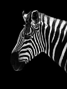 Shadow Animals - Zebra