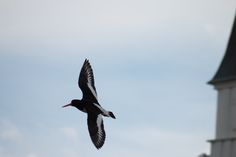Bird at Norway by Johannes Vallivaara on Kinds Of Birds, Arctic, Finland, Norway, The Good Place, Places, Animals, Animales, Animaux