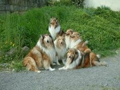 Rough Collie Clan