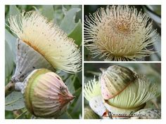 Warrawee Gardens, Beaconsfield Victoria shared these pictures on fb of Eucalyptus pyriformis x macrocarpa    Nullabor lime