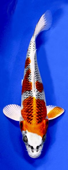 1000 images about koi guide on pinterest fish hatchery for Koi fish hatchery