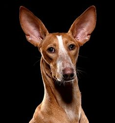 Podenco - Royal blood - Podenco Canario something tells me these dogs have good hearing...