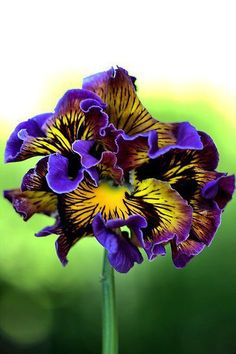 Frilly Pansy, Straight from Italy, a breakthrough improvement over classic ruffled pansies. Large blooms display brightly colored and patterned petals that are extra-frilled. Unusual Flowers, Amazing Flowers, Pretty Flowers, Purple Flowers, Colorful Flowers, Orquideas Cymbidium, Dream Garden, Pansies, Garden Inspiration