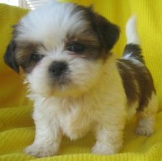 Shih tzu puppy! I have two - unfortunately they grow up... just kidding! Still cute!