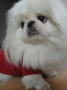 So beautiful - Pekingese