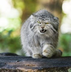 http://1.bp.blogspot.com/-K-fAQ4Uj3rM/UK7S_ArQiuI/AAAAAAABShI/08_eWIuuwds/s1600/gato-montes-manul-animales-salvajes.jpg