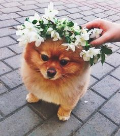 little dog with flower crown   cute pets #2020AVEXFESTIVAL