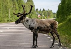 Le renne du Père Noël sur la route en été en Laponie