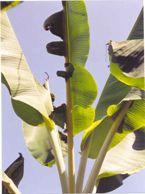 Banana Boron