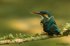 kingfisher by wise photographie on 500px