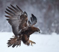 The Rulers of the Sky - Golden Eagle