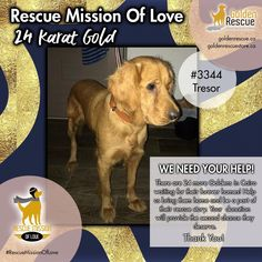 "Since our 24-Karat GOLD fundraising initiative is well underway, let's meet Trésor #3344. ""Hi, my name is Trésor and I'm still a pup. My Cairo saviour describes me as a 'wonderful girl'. I've been picked to come to Canada if you can raise enough bones to get us on that plane."" If you'd like to help Trésor or one of her friends, please consider making a donation. To learn more about our #RescueMissionOfLove and how to help, click on the link. #goldenretriever #rescuedog #adoptdonshop #donate Can You Help, We Need You, In Dire Need, Kind And Generous, Make A Donation, Cairo, Rescue Dogs, Fundraising, Plane"