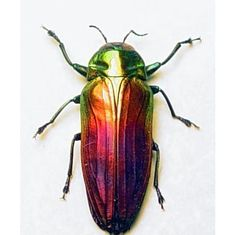 Valentine's Day Real Rainbow Beetle by REALBUTTERFLYGIFTS on Etsy, $29.99