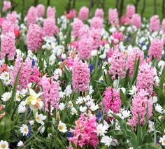 """Hyacinth 'Fondant' - Pretty in pink hyacinth and a lovely scent as well. Blooms mid-spring. Height 10"""". Zones 4-9"""
