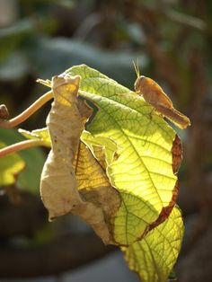 Pests Of Kiwi Vines: Information For Treating Kiwi Bugs -  While kiwi plants are tough and relatively easy to grow, they can fall prey to various kiwi plant pests. Learn more about kiwi insects and tips for treating kiwi bugs in this article. Click here for additional information.