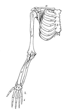 *The Graphics Fairy LLC*: Request Day - Red Shield, Theater, Wagon, Arm Bones, Seagulls Rib Cage Drawing, Bone Drawing, Arm Drawing, Human Anatomy Drawing, Anatomy Art, Drawing Reference, Arm Anatomy, Arm Bones, Skull And Bones