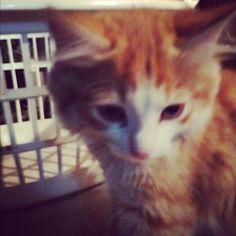 Milo  #gingerandgorgeous #kitten #cats Milo  #gingerandgorgeous #kitten #cats