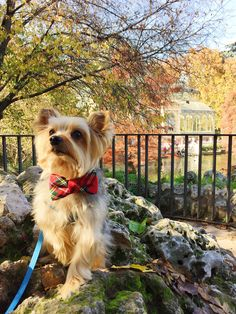 @timmy_yorkie_, from #Madrid, has the most #dapper sightseeing wardrobe for all his adventures! Looking handsome, Timmy! // #CrewLaLa #handmade #custommade #bowtie #dogcollar #dogfashion #fashion #dog #dogsofinstagram #instadog #dogsinbowties #yorkie #international #crewlaladogoftheday #dogoftheday #puppylove #charleston #charlestonSC #luxe #madeintheusa #shoplocal