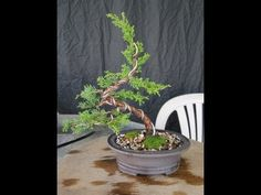 How to Create a Bonsai Tree From a Nursery Juniper, Part Two - YouTube