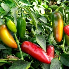 Jalapeno pepper produces 3-inch, thick-walled, moderately hot pods with deep green color that matures to a bright red. The skin may show a netting pattern as fruit ages, but it does not affect flavour. Often, the heat of the peppers will vary, even those from the same plant.