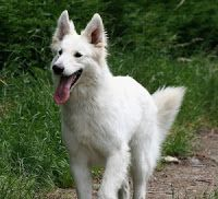 Our lovely sweet dog Indra is an American White Shepherd. Beautiful dogs