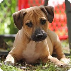 greyhound boxer lab mix puppies He's beautiful and we