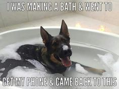 """Funny German Shepherds Embedded image permalink - """"This is great! I wish Gus liked taking a bath this much. Funny Animal Jokes, Funny Dog Memes, Dog Humor, Pet Memes, Memes Humor, Cute Funny Dogs, Cute Funny Animals, Funny Dog Photos, Funny Pugs"""