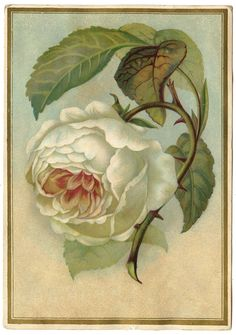 Antique Image - White Cabbage Rose - The Graphics Fairy