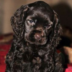 Chocolate Cocker Spaniel...and it's seriously adorable