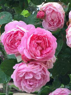 Rose 'Constance Spry', David Austin, parc de Bagatelle, Paris 16e (75)