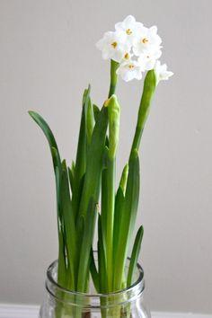 Beautiful Spring Flowers  #Narcis #Bridal #Crown  http://www.webloom.nl/