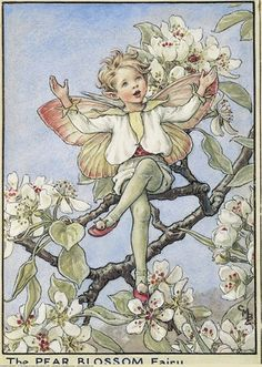 Illustration for the Pear Blossom Fairy from Flower Fairies of the Trees. A boy fairy sits cross-legged in a pear tree with his arms outstretched, singing. Author / Illustrator Cicely Mary Barker