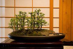 Bonsai #15 by ortizmj12, via Flickr