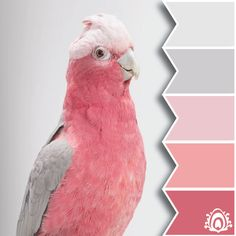 Pretty pink and grey pastel cockatoo. Queenie, Galah Cockatoo by Leila Jeffreys Pretty Birds, Love Birds, Beautiful Birds, Animals Beautiful, Pretty In Pink, Cute Animals, Pink Animals, Perfect Pink, Galah Cockatoo