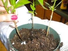 Plant new shoots in pots or at new site from clipping of a health lilac bush. Propagation. Very easy and fast growing they say.