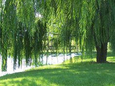 Weeping Willow by Riverside Dreamer, via Flickr