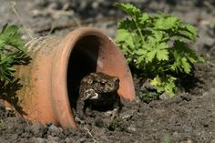 How to Attract Toads to the Garden and Why You Want Them There! Wondering how to attract toads to the garden? If you are a gardener, you need to keep reading to find out! Toads in the garden are a big help! Slugs In Garden, Garden Bugs, Garden Web, Garden Pests, Garden Design, Garden Insects, Garden Stream, Moon Garden, Herbs Garden