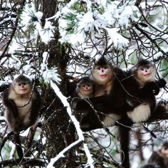 What a cute family portrait! These Yunnan snub-nosed monkeys are part of a society of rare and only recently discovered primates, living in the highest forests in the world. Learn more w/ NATURE.