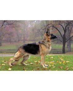 German Shepherd Dog_Herding Breeds