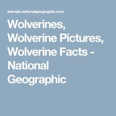 Wolverines, Wolverine Pictures, Wolverine Facts - National Geographic