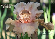 Iris YALOBUSHA DESERT – Stout Gardens at Dancingtree - ordered 5/12/16