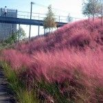 Gulf Muhly-native Texas grass that turns purple in fall
