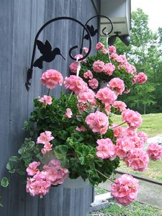 Gerainiums [ Pelargonium ] hanging baskets. Pink flowers set against Grey wood ..beautiful combo!