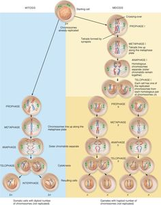 COMPARE AND CONTRAST the phases of mitosis and meiosis with this detailed visual aid.